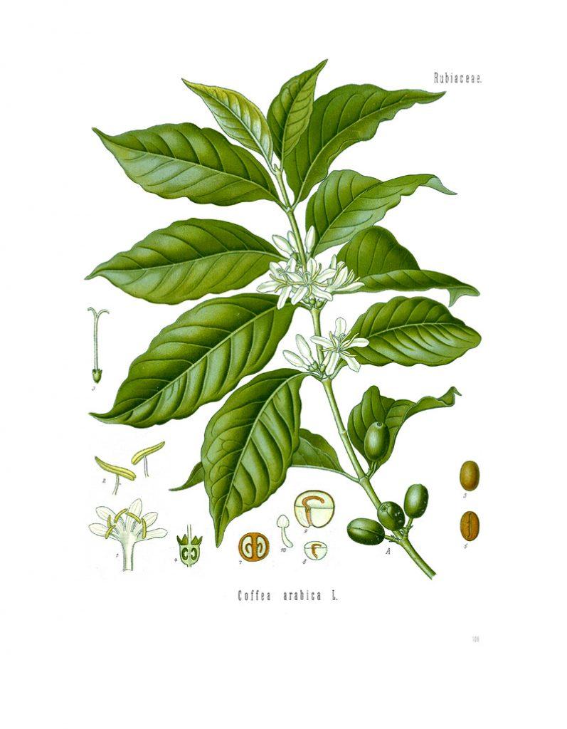 Ilustración botánica de una planta con semillas de Café Arábica